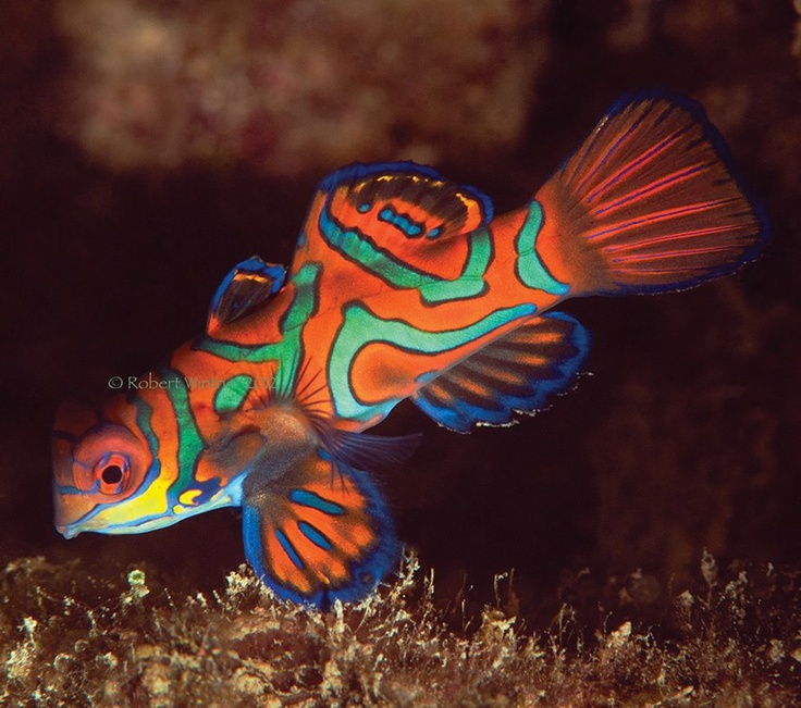 17 best ideas about mandarin fish on pinterest beautiful for Cool fresh water fish