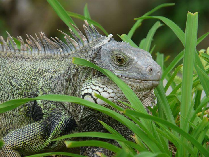 Iguana Parque El Slado Envigado