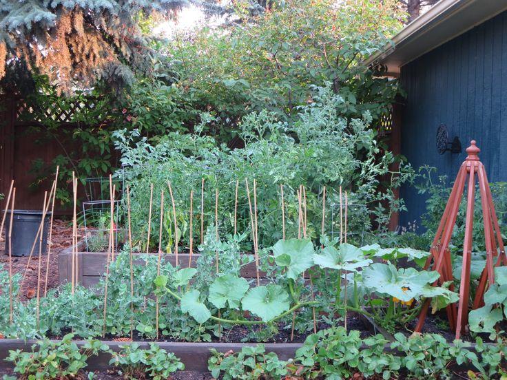 Veggie garden - squash gone wild.