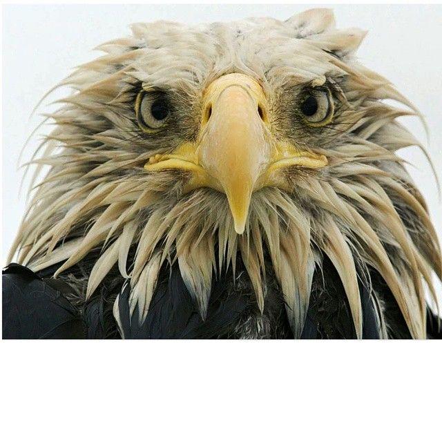 #Yağmur altında bir Kel Kartal & #A Bald Eagle under the rain ♥♥♥