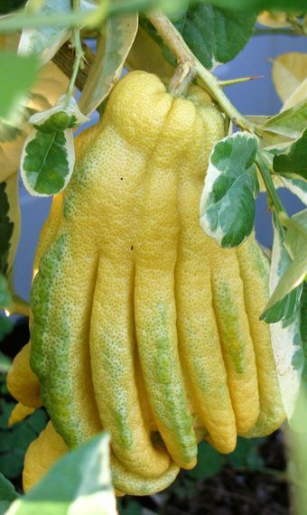 Fingered Citron or Buddha's hand is a shrub or small tree with variable shaped fruit. The pulp is often dry with very little juice