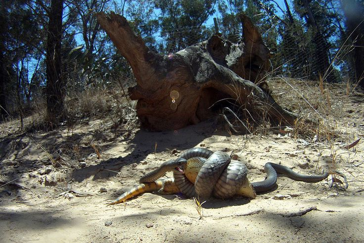 28 best images about most dangerous animals in australia
