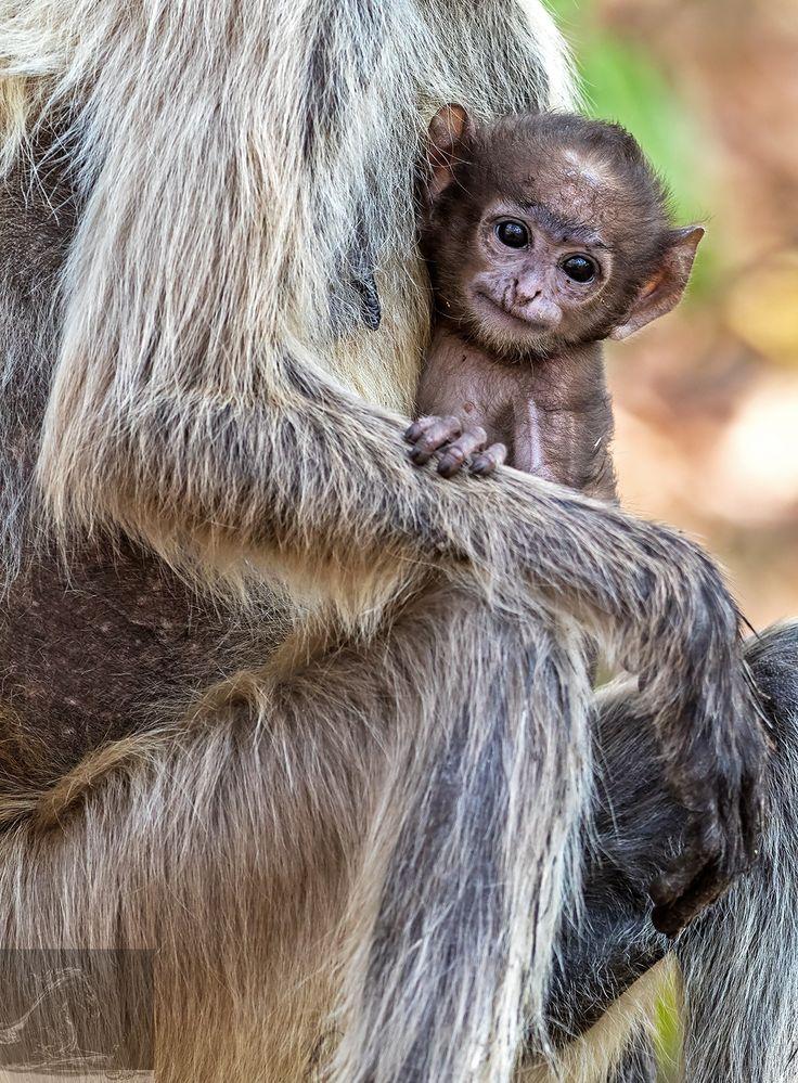 Bandhavgarh 041 - A baby Grey Langur - Bandhavgarh, India…