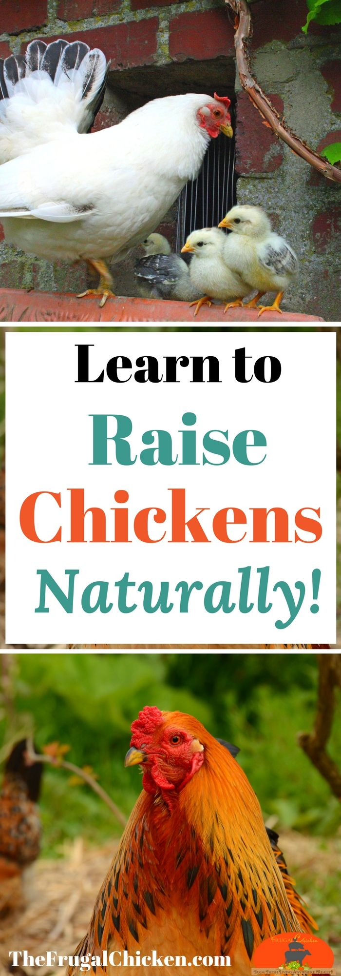 Want to raise your chickens naturally? In this 150 page e-book, you'll discover the go-to backyard chicken guide 350,000 people every month rely on! You'll get recipes for organic homemade layer feeds, a Week-By-Week baby chick starter guide, 40 full-color photographs and more! Just $10!