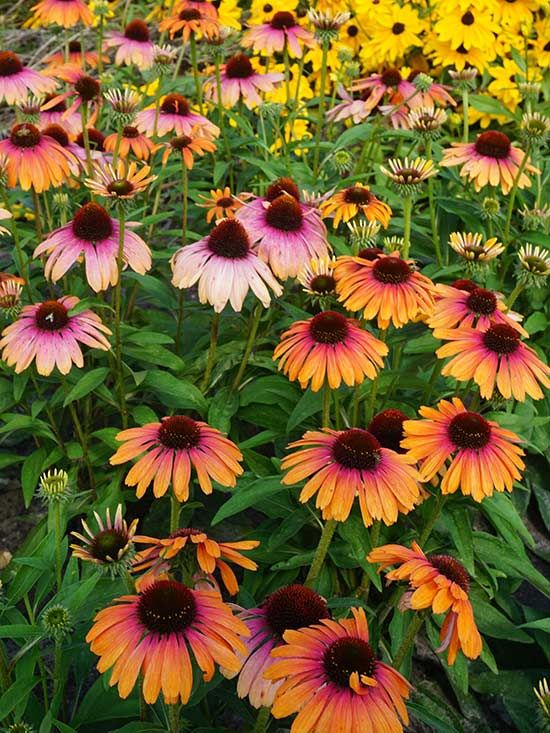 The Rainbow Marcella has a strong hardiness level and is a magnet for butterflies. Not to mention they bloom with knockout shades of melon orange and raspberry pink. Click in to see Better Homes and Gardens' other must-have perennials in your garden.