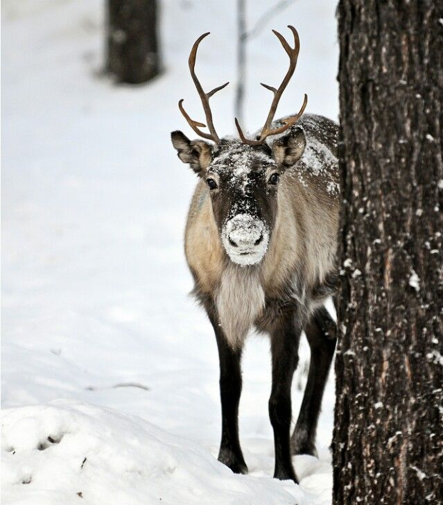 In the off season--before Christmas--all the real reindeer gather for photo shoots.