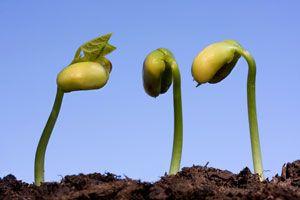 ***¿Cómo Germinar Semillas de Cítricos?*** Aprende cómo germinar semillas de cítricos para tener tus propios cultivos en casa, deliciosos y saludables...SIGUE LEYENDO EN... http://hogar.comohacerpara.com/n11023/como-germinar-semillas-de-citricos.html