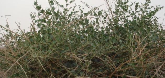 الغطاء الن باتي الت داوي بالأعشاب عشبة الر وحب فوائد عشبة الر وحب الغطاء الن باتي يشك ل الغطاء الن باتي عنصرا بالغ الأهمي ة في الن ظام البيئي Plants