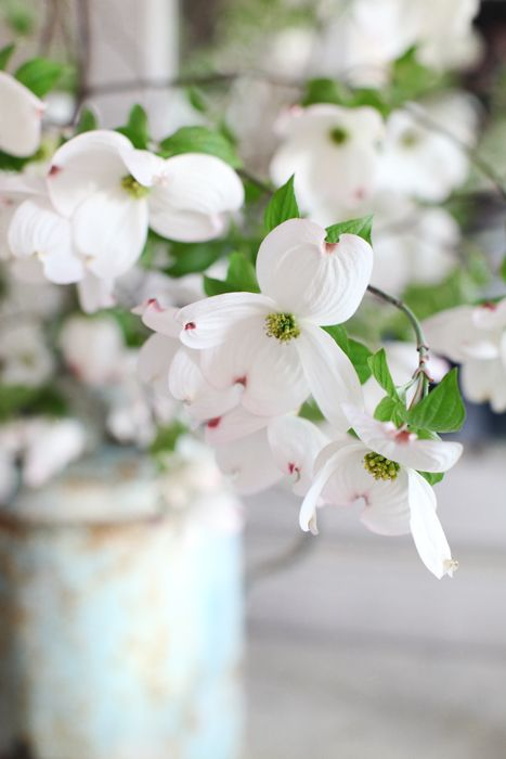 150 best ~ Dogwood ~ images on Pinterest | Dogwood trees, Dogwood ...