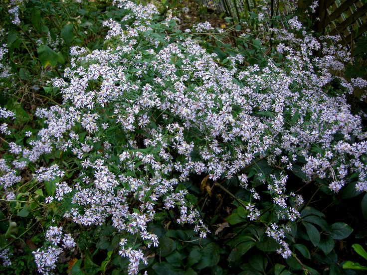 21 best native plants of pennsylvania images on pinterest