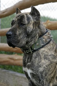Presa Canario (spanish mastiff)  I'd be real cautious about these dogs, beautiful though they are.