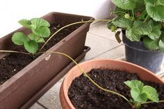 It is extremely easy to reproduce strawberry plants by runner (or stolon) propagation, but the first time we all have a lot of questions. This is a quick guide that will help you clear your doubts.
