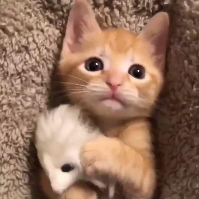Cute Kitten Cuddling It is Teddy