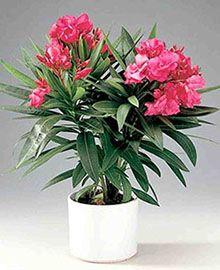 Вредные комнатные растения олеандр