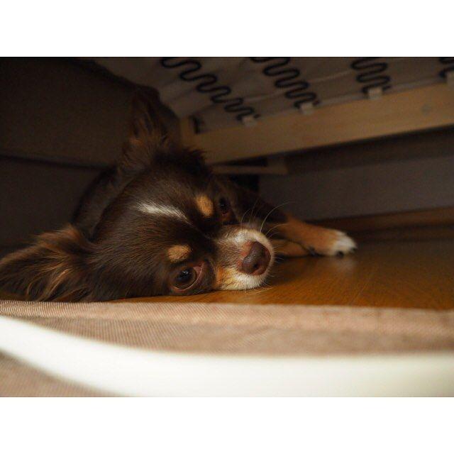 ・ ・ ソファの下で寝るのが落ち着くみたい ・ ・  #ミラーレス一眼カメラ#ミラーレス#カメラ初心者#オリンパス#オリンパスOMD#日常#チワワ#犬#ペット#愛犬#Instagood#Instaphoto