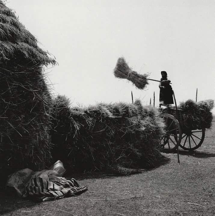 Θεσσαλικός κάμπος, το μάζεμα του σταχυού._Φωτογράφος Δημήτρης Λέτσιος (Βόλος)._Χρονολογία_ 1960-1970.