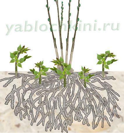 размножение-корневыми-отпрысками