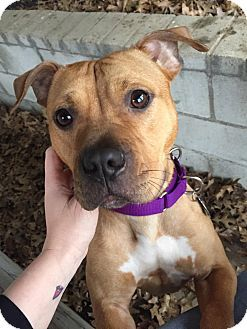 Des Peres, MO - American Pit Bull Terrier/American Staffordshire Terrier Mix. Meet Jade, a dog for adoption. http://www.adoptapet.com/pet/17882878-des-peres-missouri-american-pit-bull-terrier-mix