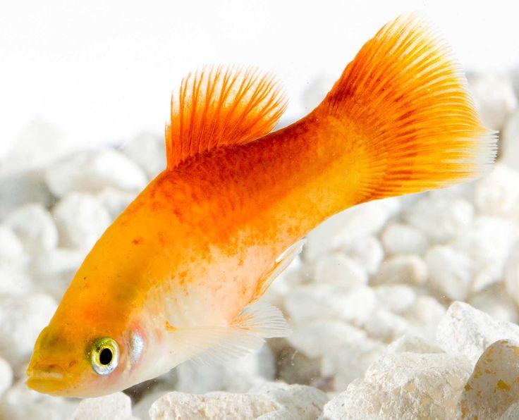 Il Platy è un pesce d'acqua dolce socievole e tranquillo, che ama vivere con altre specie altrettanto pacifiche