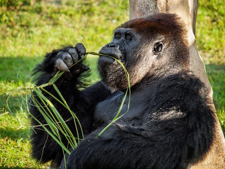 https://flic.kr/p/Qm4fZH | JJ. Lowland Gorilla | Lowland Gorilla  Zoo Miami