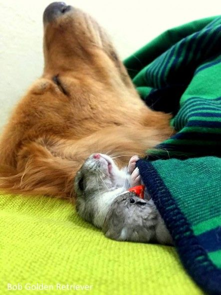 This Golden Retriever Snuggling With His Bird And Hamster Besties Proves Love…