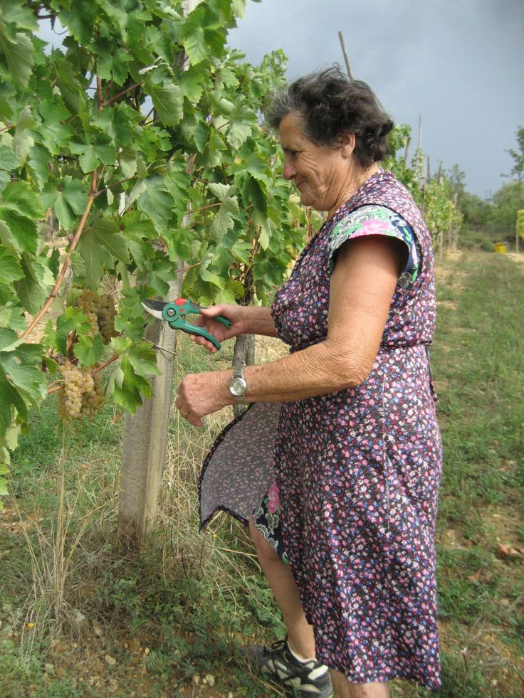 Marcella at the Grape Harvest, Montefollonico, Tuscany