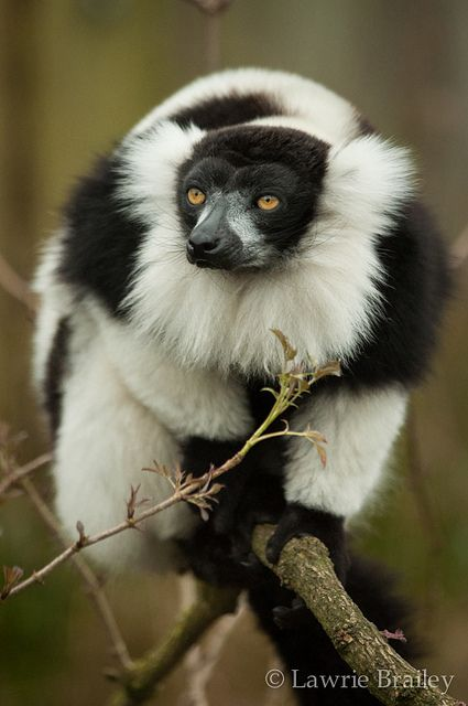 Black and White Ruffed Lemurs, by LawrieBrailey