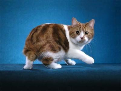 Manx Cymric Cat