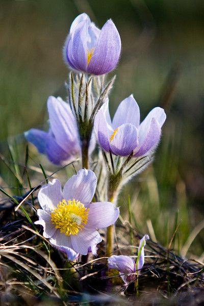 Image result for alberta flowers