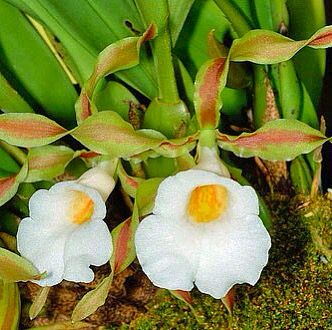 Plectrophora triquetra Rolfe Cogn  The Plant List