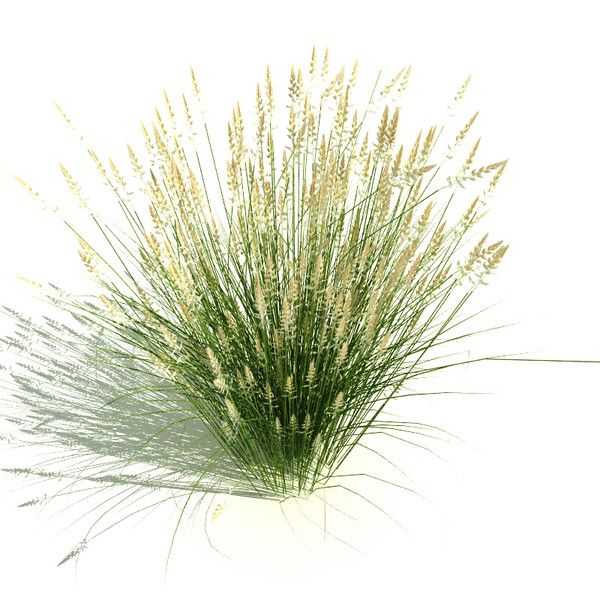 Calamagrostis x acutiflora 39 karl foerster 39 digital for Planting plans with grasses