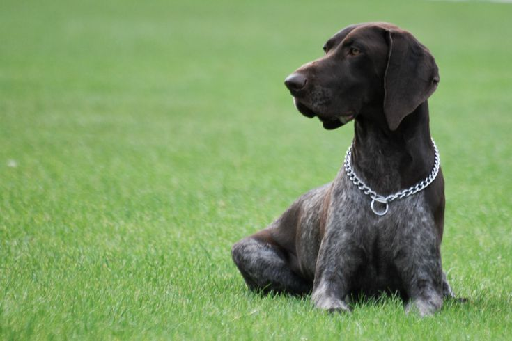 German Shorthaired Pointer, a hunting dog.... The BEST dog. 'o)