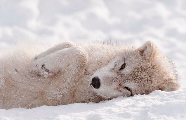 """wolves-throne: """" """"Arctic Wolf Pup"""" """""""