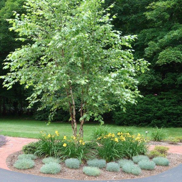 Betula nigra 'Heritage' – (River Birch) |