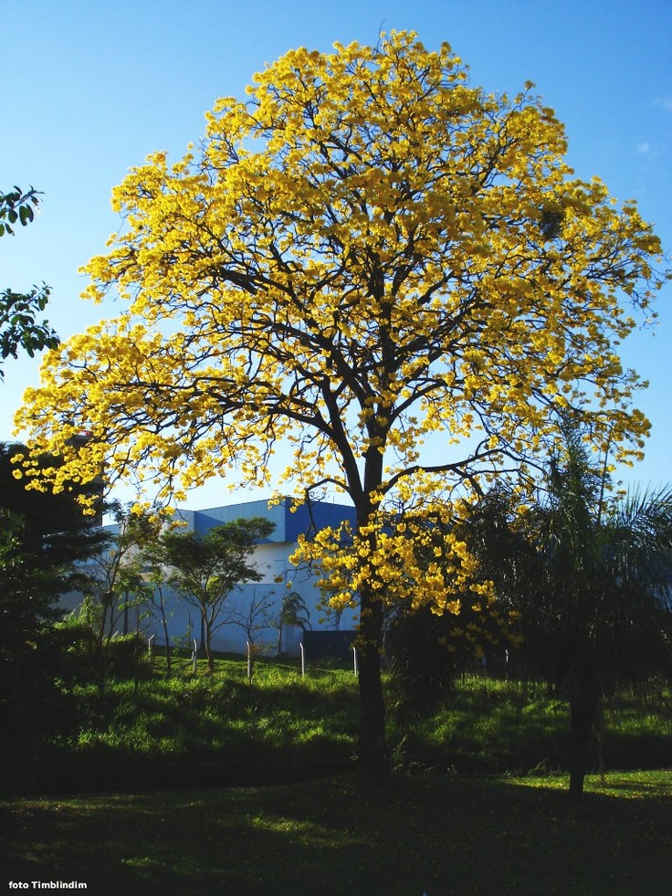 Ipe Amarelo Arvore Simbolo Do Brasil Ipe Amarelo Tabebuia