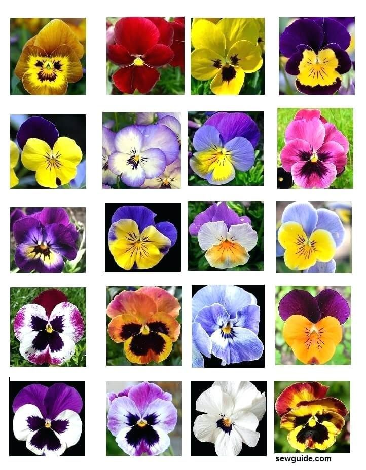 Good Pictures Pansies Meaning Concepts Pansies Would Be The Colorful Plants With Faces Some Sort Of Cool Weather B Pansies Flowers Flower Meanings Pansies