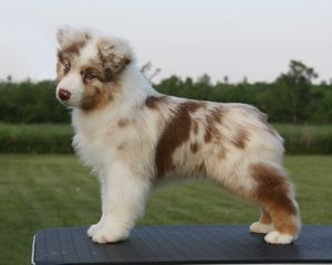 Absoloot Australian Shepherds. Still debating between aussie, bulldog or a great dane