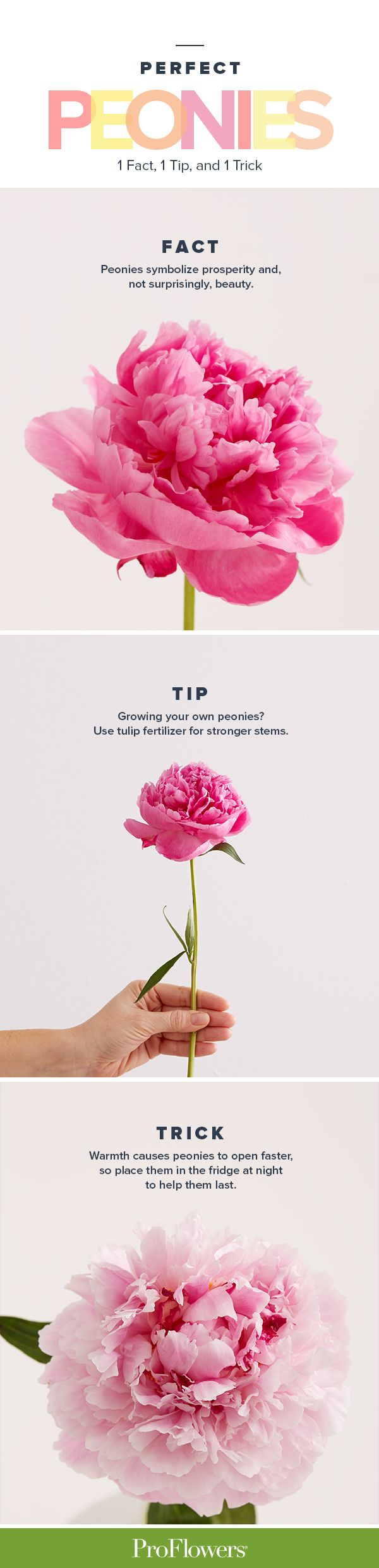 Peonies: They're perfectly pink, fluffy, and smell like heaven. Here's a smart tip, a sneaky trick, and a little-known-fact for all you peony lovers out there.