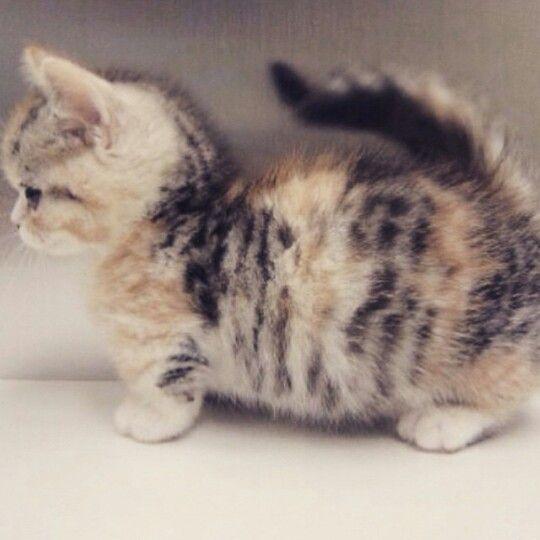 Dwarf kitten!