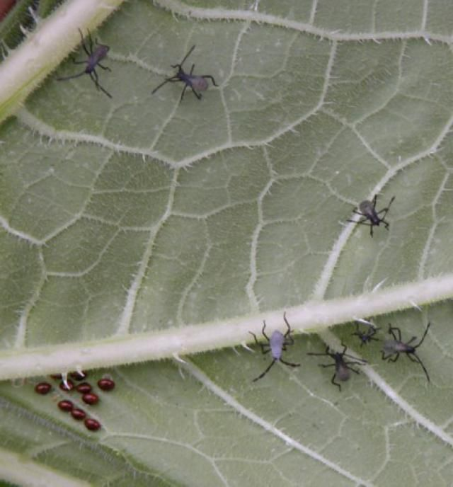 Best 25 bug identification ideas on pinterest garden - Identifying insect eggs in the garden ...