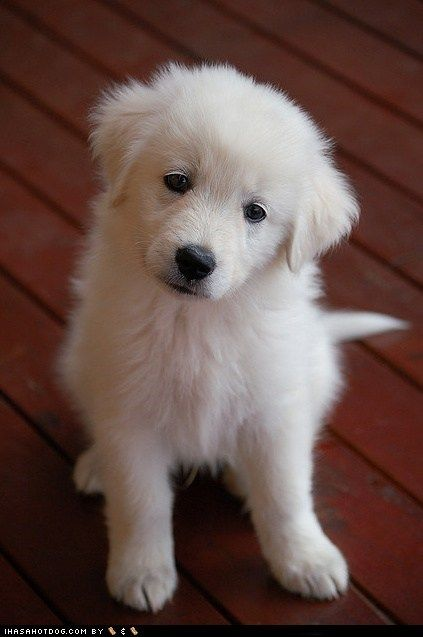 Great Pyrenees puppy; after a full grown Pyrenees visited us for a while, we found out how gentle, protective, and loving this breed is. If not a Labrador, then this would be a great dog for the family!