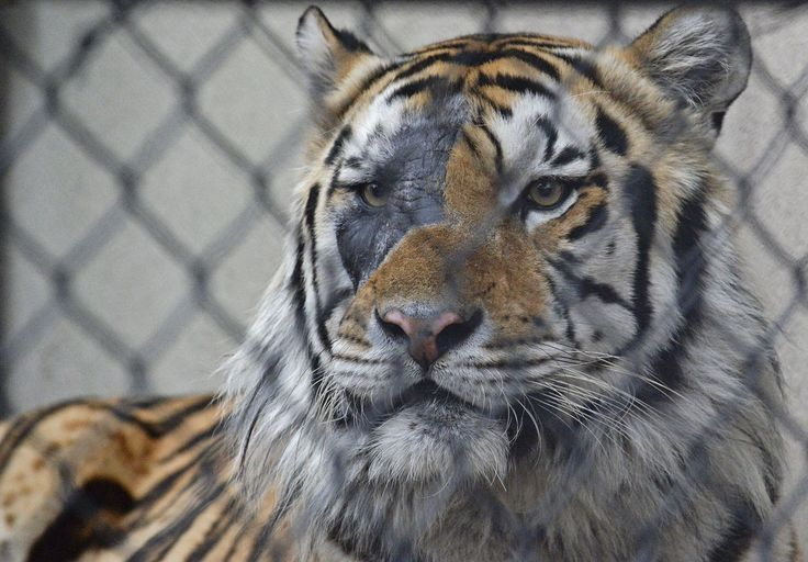 Radiation burn visible on Mike the Tiger's face after cancer treatment