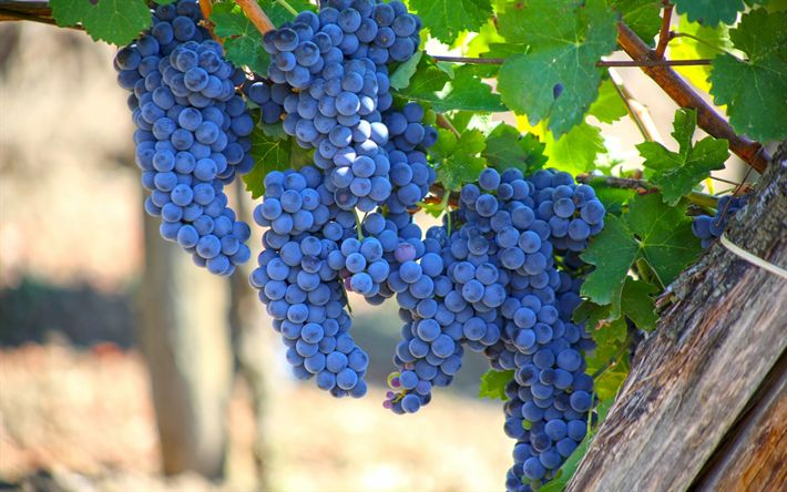 Download wallpapers grapes, harvest, autumn, vineyard, bunch of grapes, fruits
