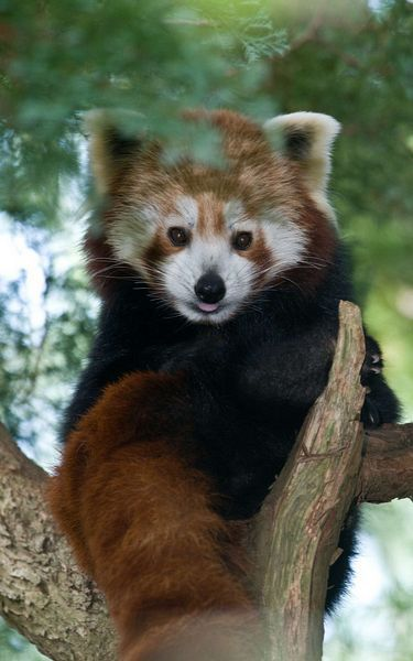 Cute red panda at paignton