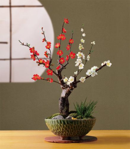 ume bonsai. Amazing with2 bloom colors