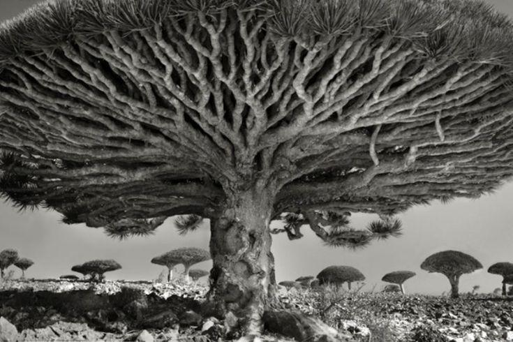 """Beth Moo, fotograaf uit San Francisco, reisde veertien jaar lang de wereld over om de oudste bomen vast te leggen. Onlangs verscheen haar fotoboek Portraits of Time, waarmee ze de mensheid hoopt aan te sporen wat beter op de soms wel eeuwenoude overgebleven bomen te passen. """"De meeste bomen die ik heb gefotografeerd bestaan enkel omdat ze buiten het bereik van de beschaving zijn gebleven,"""" schrijft Moon op haar website."""