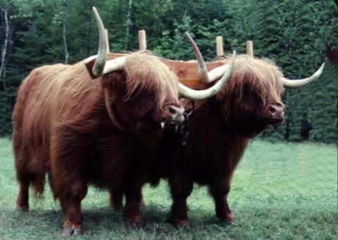 Highland Oxen... I REALLY want... but it's way too hot here for them. :(
