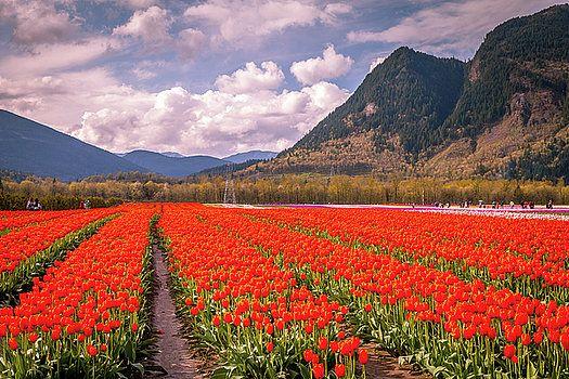 Art Calapatia - Orange Tulips 1