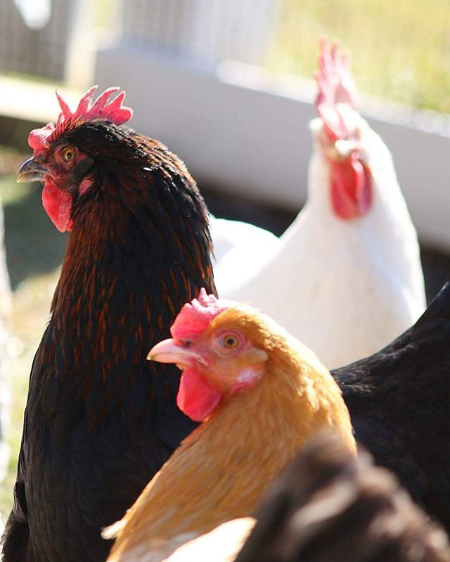 Love my girls! . . . . . #bufforpington #leghorn #frenchcoppermaran #pollos #鸡 #kyllinger #kippen #poulets #Hühner #κοτόπουλα #polli #鶏 #kyllinger  #Galinhas #куры #kycklingar #农场 #gård #boerderij #ferme #Bauernhof #αγρόκτημα #aziendaagricola #ファーム #Fazenda #ферма #odla