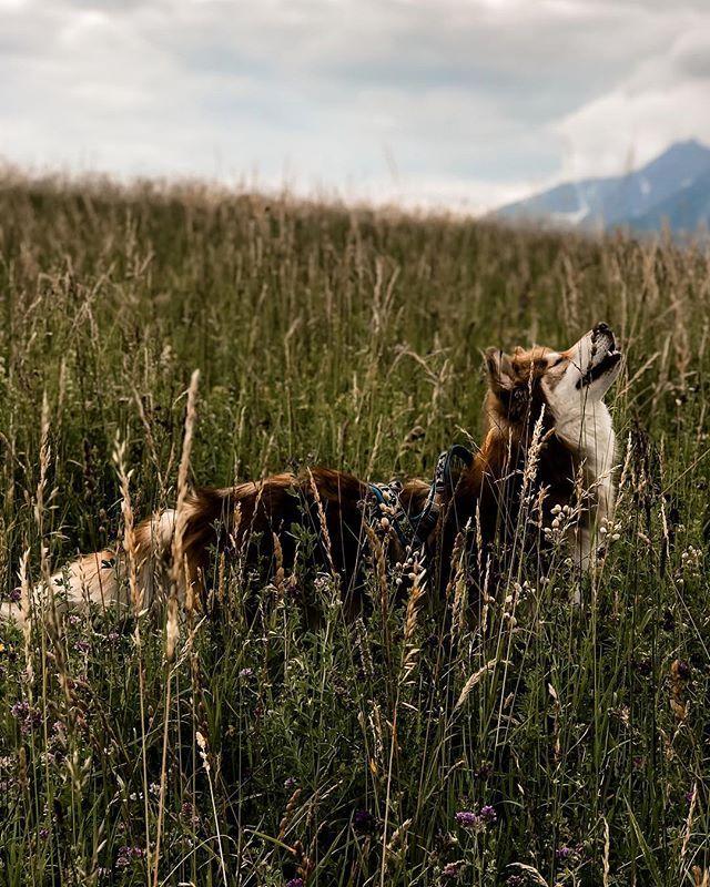 Poser Oder Geniesser Siberianhusky Hunde Sibirischer Husky Hunde Welpen